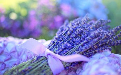 Arzneipflanze des Jahres 2020: Echter Lavendel – Lavandula angustifolia